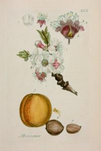 Flora Parisiensis / Pierre Bulliard.- Paris : Pierre François Didot le jeune, 1776-1783
